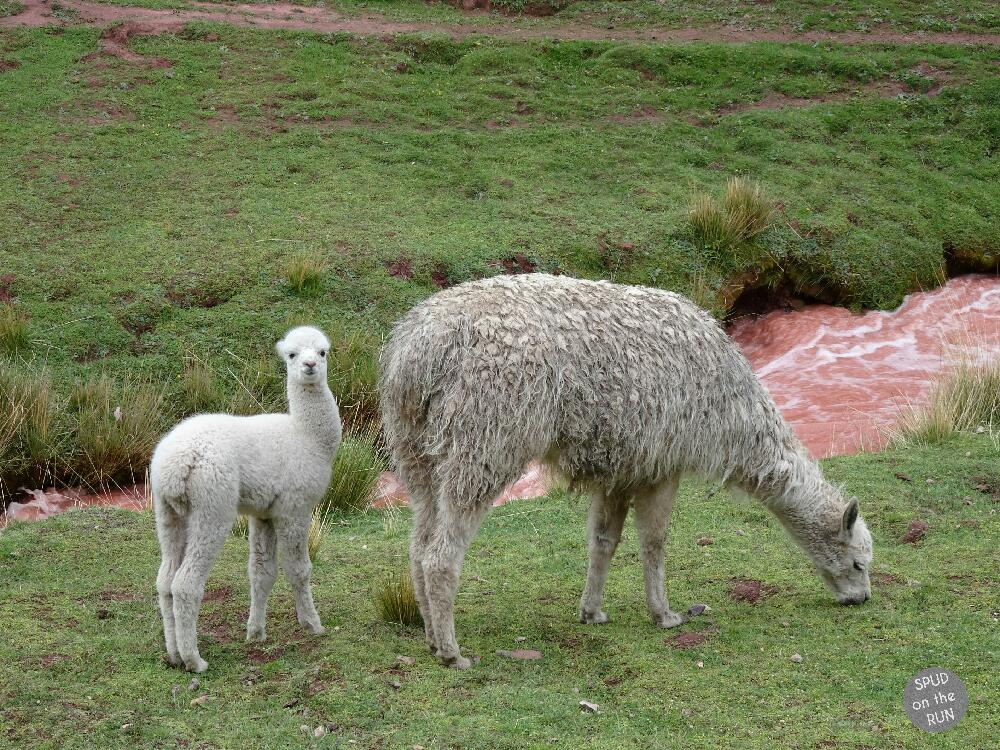 A mother and baby alpaca grazing in the Red Valley