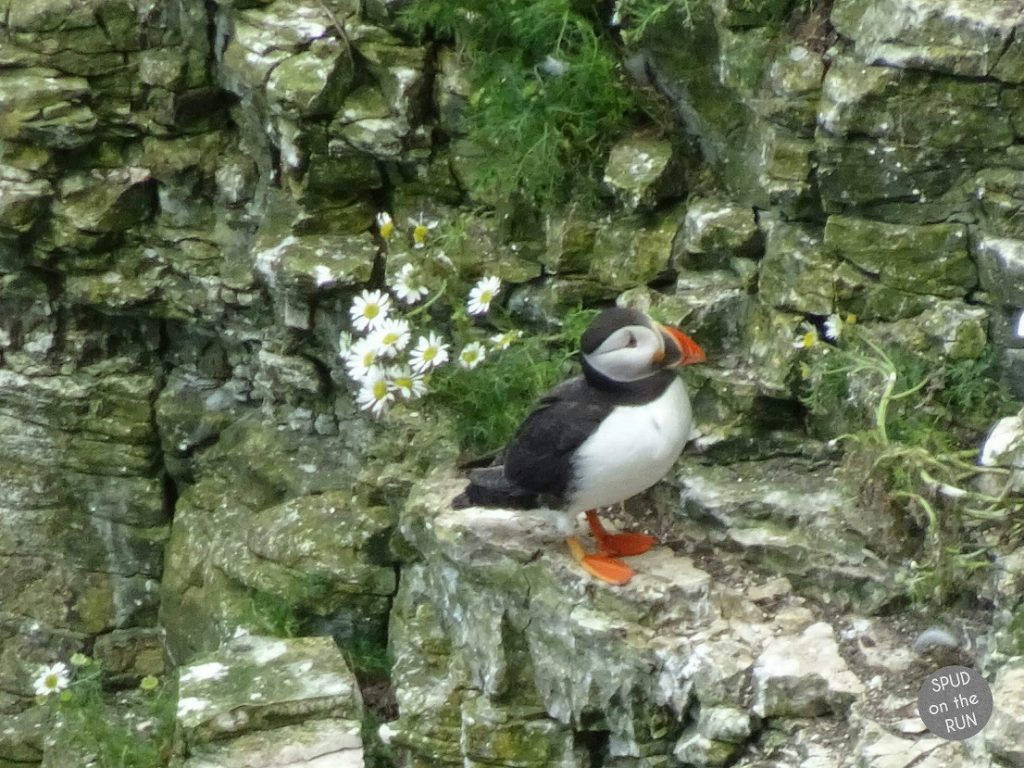 Puffin stood on cliffs during visit to Bempton Cliffs